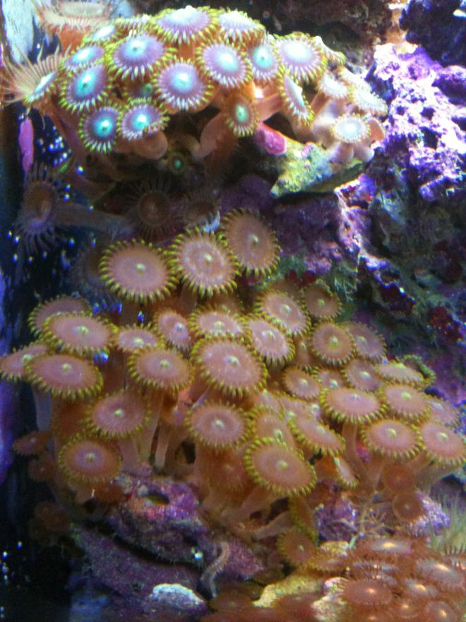 Coral Reef Aquarium - Corals - What the heck again!!