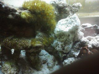Coral Reef Aquarium - Corals - yellow zoo prob...are they dying?