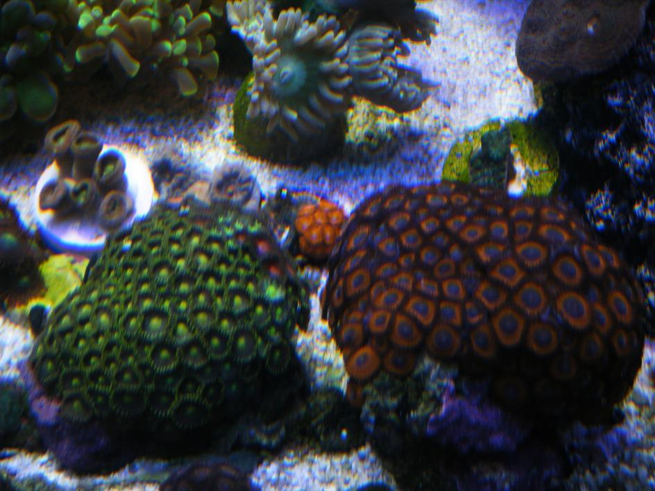 Coral Reef Aquarium - Corals - Z/P's in MASS