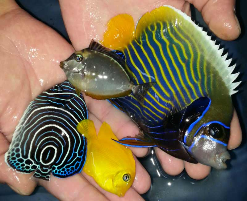 Incredible black friday sale at trop michigan reefers for Blue tang fish price