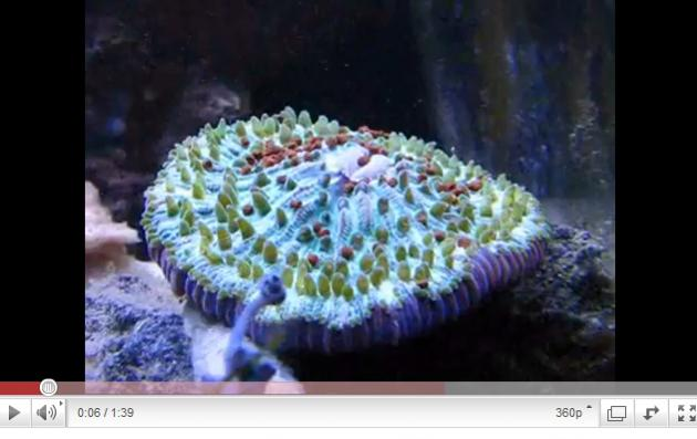 picturephp?albumid256&amppictureid1649 - Video: Hungry Plate Coral, Very Cool