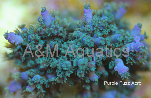 picturephp?albumid251&amppictureid1615 - A&M Aquatics Aquacultured Coral of the Day