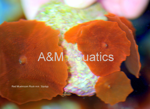 picturephp?albumid251&amppictureid1620 - A&M Aquatics Aquacultured Coral of the Day- Red Mushroom Rock
