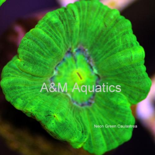 picturephp?albumid251&amppictureid1625 - A&M Aquatics Aquacultured Coral of the Day- Neon Green Candy Cane Coral