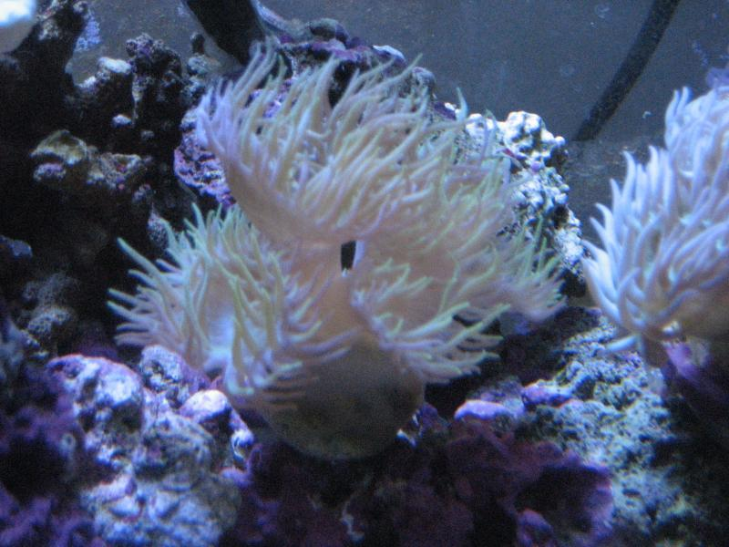 picturephp?albumid343&amppictureid2872 - a few corals for sale