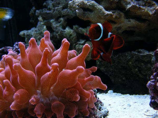 picturephp?albumid170&amppictureid968 - Luscious Reds - October Photo Contest - sponsored by Kees Aquarium