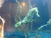 "picturephp?albumid308&amppictureid2414&ampthumb1 - 2 male brazilin seahorses 7-8"" big"