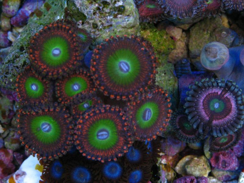 1580 img 0353new - Nice color corals