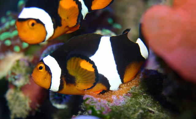 clowns laying2 - Percula Clownfish (laying eggs)