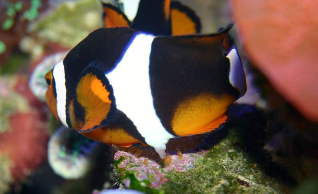clowns laying3 - Percula Clownfish (laying eggs)