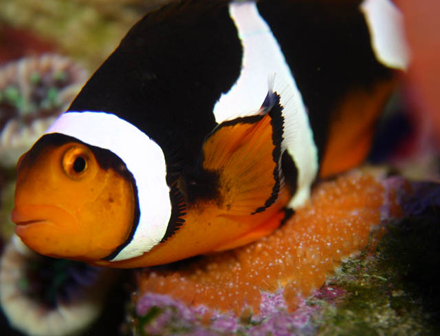 clowns laying4 - Percula Clownfish (laying eggs)