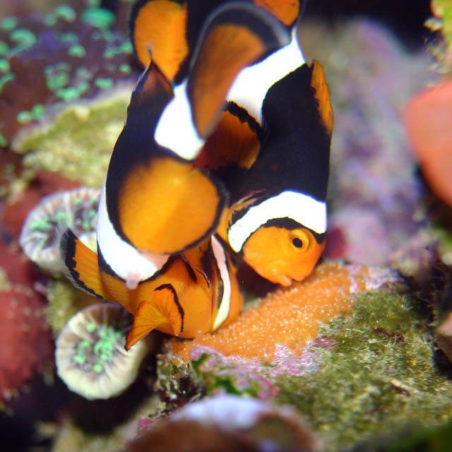 clowns laying5 - Percula Clownfish (laying eggs)