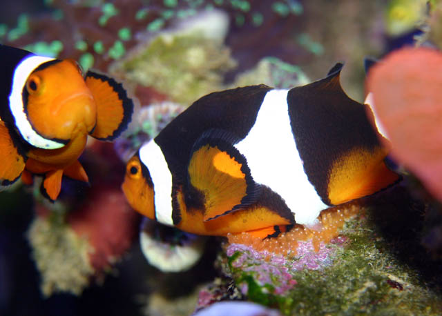 clowns laying6 - Percula Clownfish (laying eggs)