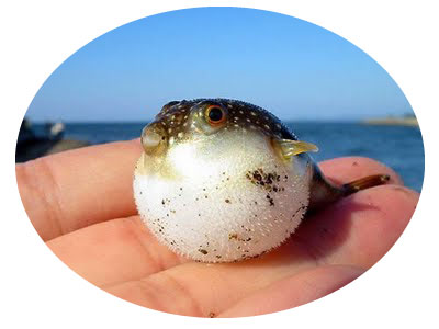 "baby puffer fish - October ""Newsletter"""