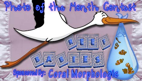 potm reef babies - VOTE NOW - Reef Babies - sponsored by Coral Morphologic