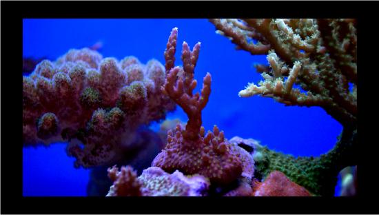 bonsai - divecj5's SPS Nano Reef