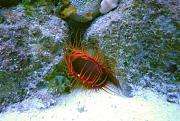-flame-scallop-2-ps-jpg