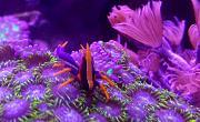 -purple-orange-squat-lobster-1-jpg